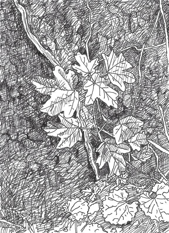 Telpost nr. 4, Jonge Veldesdoorn in de Halve Bunder, 2017, 14,5x10,5 cm, fineliner op papier